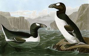 400px-Pinguinus_impennus_(Audubon)